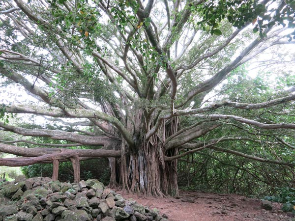 Banyan tree at Pipiwai Trail on Maui