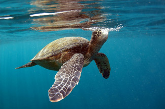 Hawaii Sea Turtle
